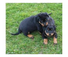 IKC Reg Champion Pedigree Rottweiler pups